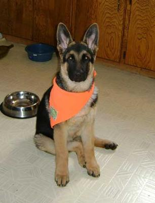 16 weeks old German Shepherd puppy Diesel