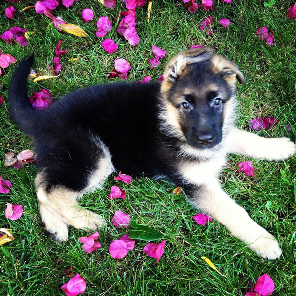 German Shepherd puppy, Titus