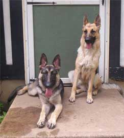 GSDs in doorway