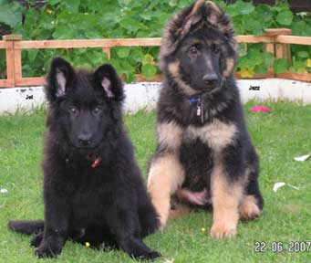 Weaning Puppies on Weaning Gsd Puppies   Weaning German Shepherd Puppies