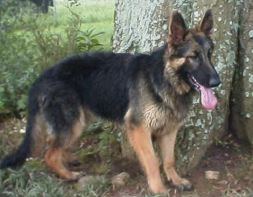 GSD Hunter 7 mos