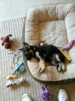 German Shepherd puppy Elsa