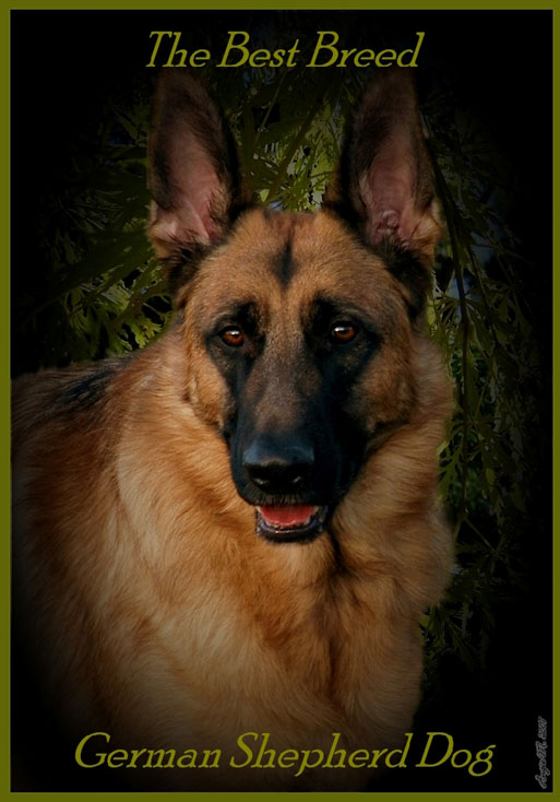 GSD Best Breed wallpaper