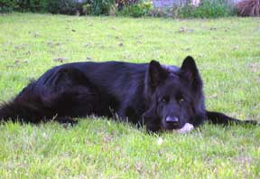 Black GSD with head down