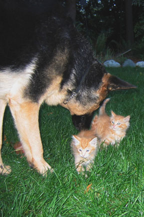 GSD puppy with kitties