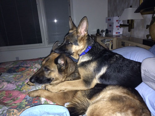 2 German Shepherdson bed
