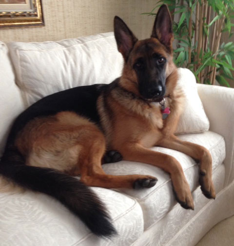 GSD of the Month - April 2014 - German Shepherd Elke.