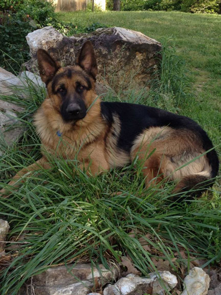 German Shepherd Xindel