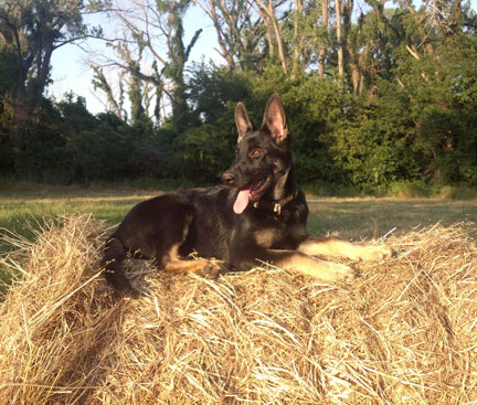 GSD of the Month - July 2012 - GSD Zoe