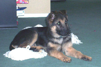 German Shepherd puppy Emma