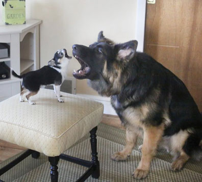 GSD of the Month - March 2012 - GSD Griswold