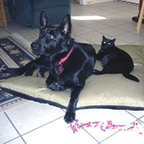 GSD with cat