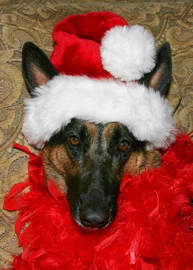 GSD of the Month - December 2012 - Isabelle