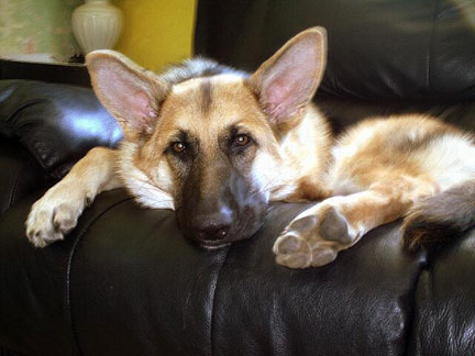 GSD Lacey