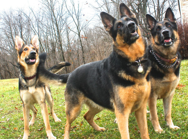 GSDs of the Month - March 2014 - German Shepherds Norman, Dallas and Kahu.