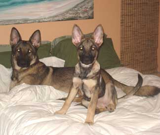 German Shepherd Gunnar and Bella