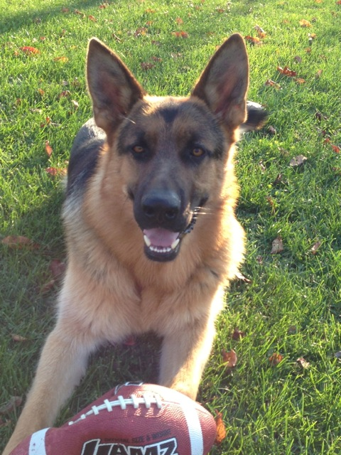 German Shepherd Smiling, Kaiser