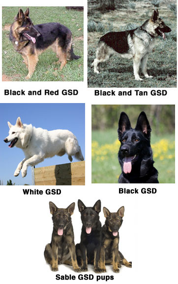 GSD Coat Colors