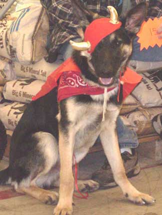 GSD in costume with helmet