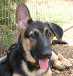 GSD pup one ear up