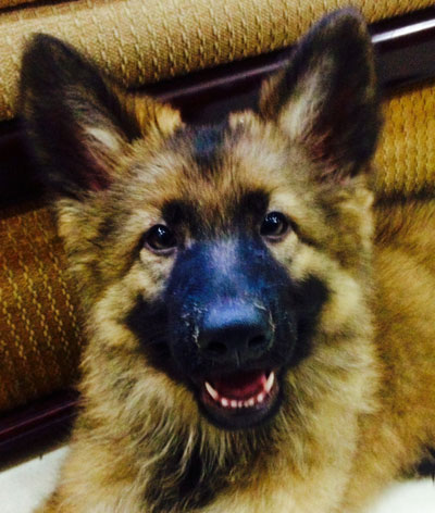 German Shepherd pup smiling