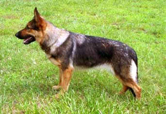 below find a few pictures representative of the sable german shepherd dog - Sable Color