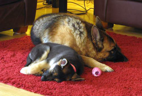 GSD of the Month - January 2010 - Juno & Tyra
