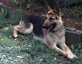 GSD saddleback