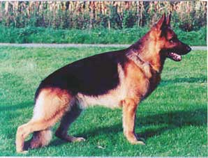 The German Shepherd Saddle Back