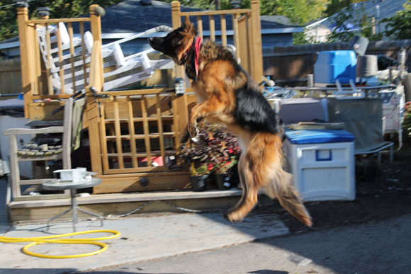 GSD of the Month - November 2014 - German Shepherd Ruckus.