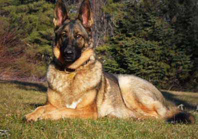 GSD of the Month - August 2012 - Zoe