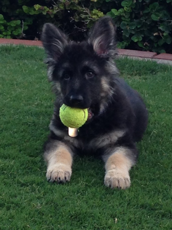 GSD Puppy with Tennis Ball