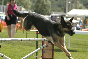 German Shepherd doing agility