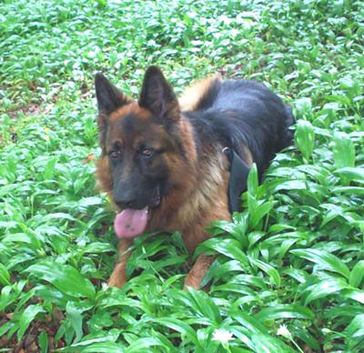 GSD in green foliage
