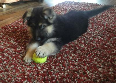 German Shepherd puppy Auggie playing with his ball