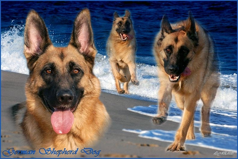 German Shepherd on beaches Wallpaper