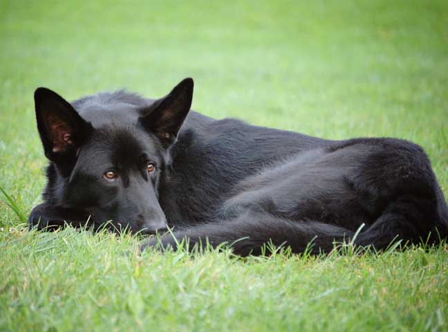GSD of the Month - April 2012 - Nero