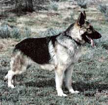 saddle back GSD
