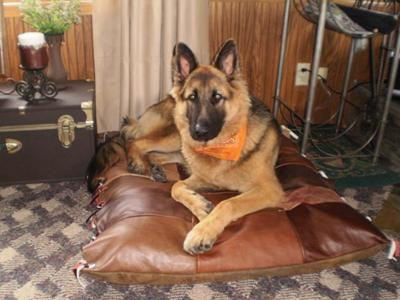 Dodge 12 months old German Shepherd