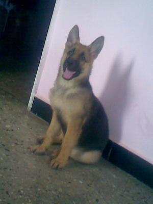 2 months old German Shepherd