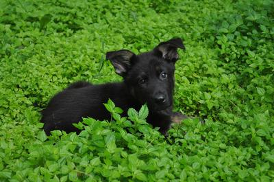 Black German Shepherd Puppy, Kain