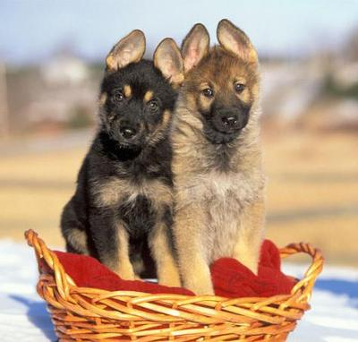 Not my dogs, but similar to them. cute huh ?