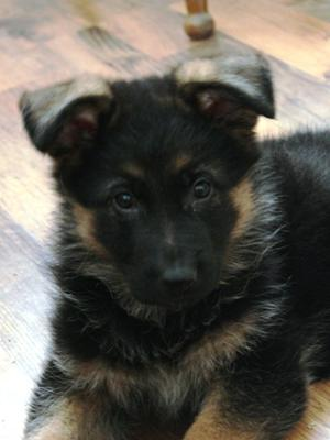 German Shepherd puppy, Dante