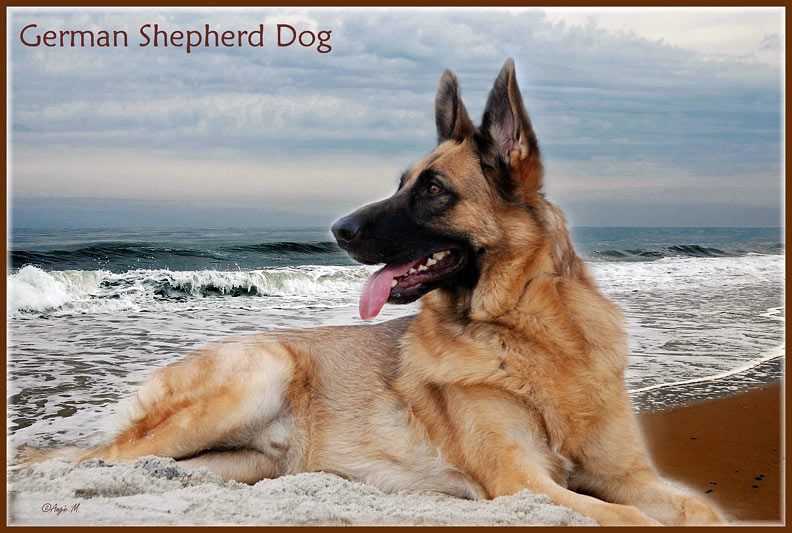 German Shepherd by waves Wallpaper