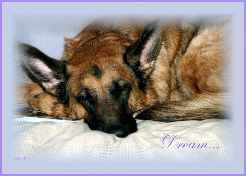 German Shepherd dreaming Wallpaper