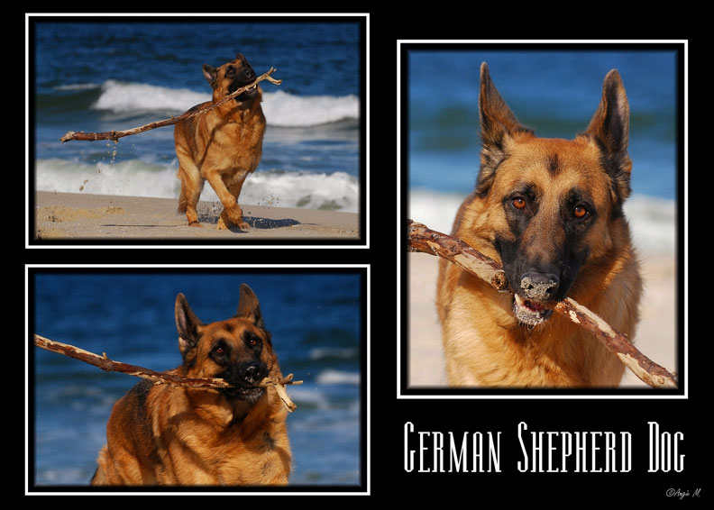 German Shepherd fetch on beach Wallpaper