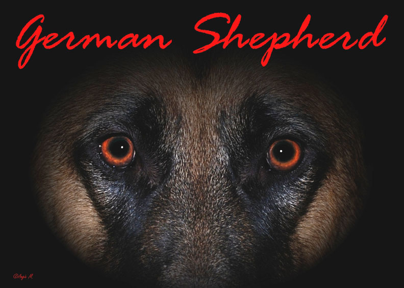 German Shepherd eyes Wallpaper