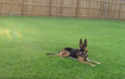 German Shepherd Jake relaxing out in the yard  ;)