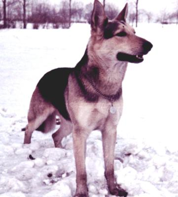 Moocher, my first German Shepherd