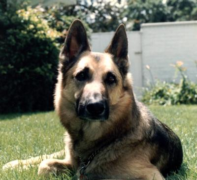 Nik was a lovable gentle dog